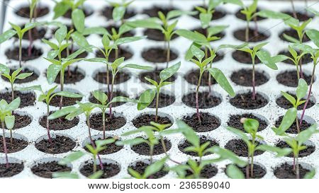 Pepper Seedlings, Young Foliage Of Pepper, Spring Seedlings. Sprouts Pepper.
