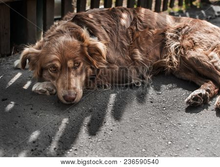 Portrait Of Cute Sad Chained Brown Or Red Dog Lying Or Resting On Old Village Yard Under Wooden Fenc