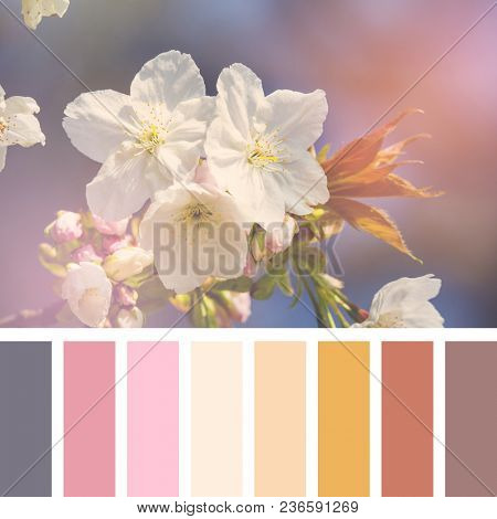 Cherry blossom in spring sunshine. In a colour palette with complimentary colour swatches.