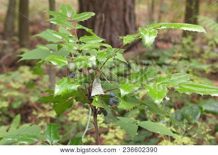Oregon Grape Mature Dark Bluish-black Berries On Top Of Shrub With Dark Pinnate Leaves