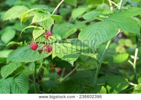 Raceme Of Wild Raspberry Red Berries On Background Of Great Beautiful Emerald Foliage The Shrub