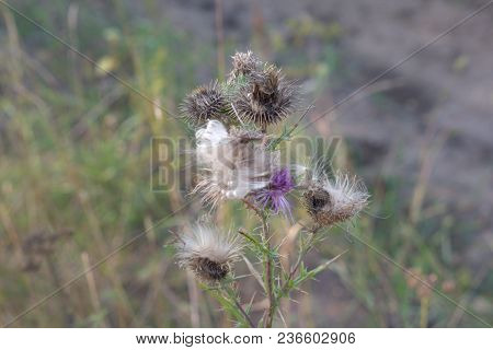 Mature Thistle, Crumbles Into Fluff. Profuse Flowering With Many Flowers. Autumn Changes