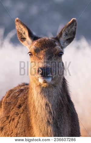 A Female Red Deer Portrait Captured In Early Morning Sunlight, Which Produces A Beautiful Contrast O
