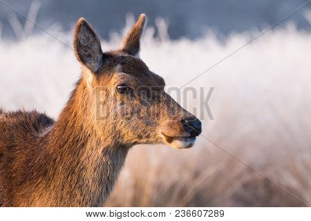 A Beautiful Female Red Deer Walks Through An Ice Coated Meadow In England, As The Early Morning Sunl