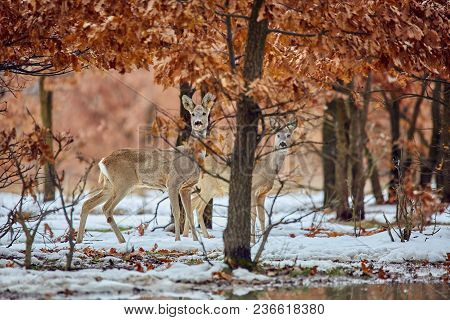 Roe Deer In The Forest