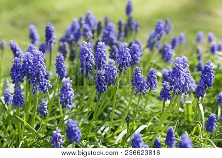 Muscari Armeniacum Grape Hyacinth Growing In A Clump In A Garden