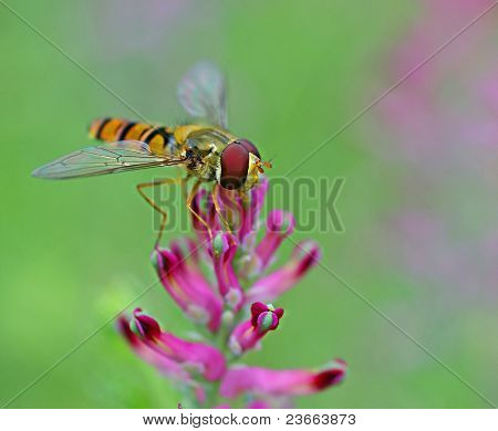 Hoverfly positioned on flower for finding food
