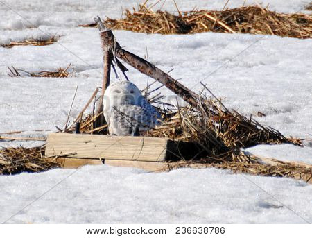 A Snowy Owl In A Wooden Box With Nesting Material Among The Snow.
