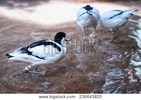 group of black and white avocets frolicking in the pond
