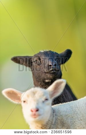 Portrait of cute different black and white young lambs on pasture, early morning in spring. Symbol of spring and newborn life. Concept of diversity