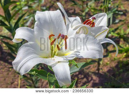 Flowering White Lilies In A Summer Garden.