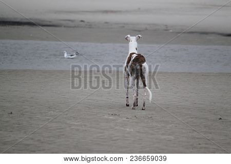 Beautiful Galgo Is Standing At The Beach And Looking To Swimming Seagulls