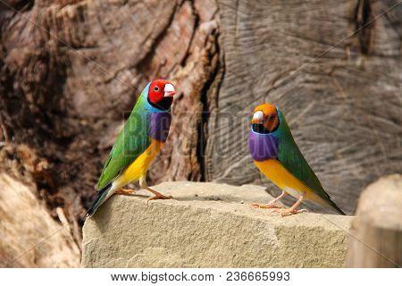 The Gouldian Finch Or Erythrura Gouldiae, Male, Aka The Lady Gouldian Finch, Goulds Finch Or The Rai