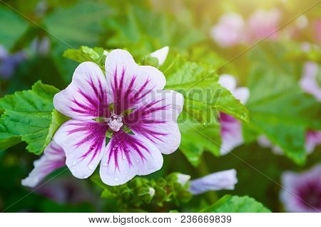 Mallow Flower Or Forest Mallow In Summer Forest Under Soft Sunlight, In Latin Malva Sylvestris. Flow
