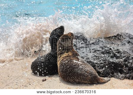 Galapagos Sea Lion cubs playful playing in sand and waves lying on beach on Galapagos Islands. Animals and wildlife nature on Galapagos, Ecuador, South America. Cute animals.