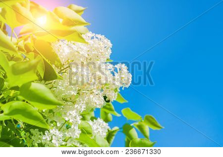 Spring Flower Background With Spring White Lilac Flowers On The Background Of The Blue Sky, Colorful
