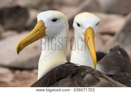 Galapagos Albratross aka Waved albatross pair nesting on Espanola Island, Galapagos Islands, Ecuador. The Waved Albatrosses is an critically endangered species endemic to Galapagos.