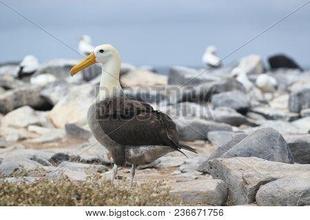 Galapagos Albratross aka Waved albatross on Espanola Island, Galapagos Islands, Ecuador. The Waved Albatrosses is an critically endangered species endemic to Galapagos.