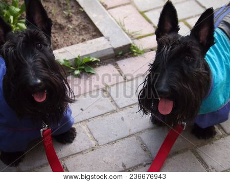 Pretty Twins Scotch Terriers. Scottish Ladies. Two Cheerful And Charming Sisters-dogs On A Walk, Woo