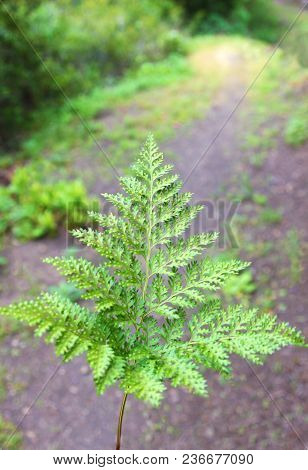 Green Fern Leaf In Front Of A Hiking Path In The Forest