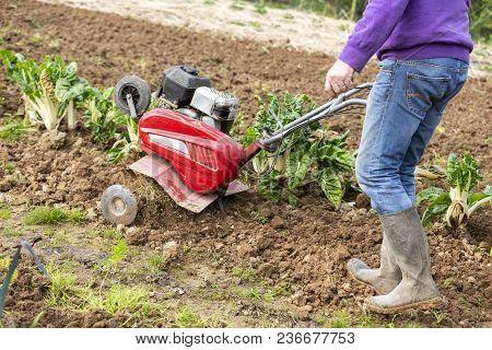 Senior Farmer Gardener Working In The Garden With Rototiller , Tiller Tractor, Cutivator, Miiling Ma