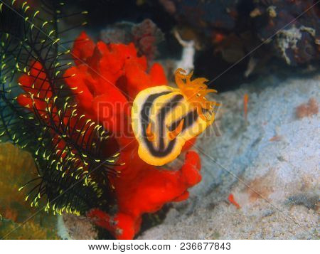 The Amazing And Mysterious Underwater World Of The Philippines, Luzon Island, Anilаo, True Sea Slug