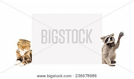 Playful Raccoon And Cat Scottish Fold, Peeking From Behind Banner, Isolated On White Background