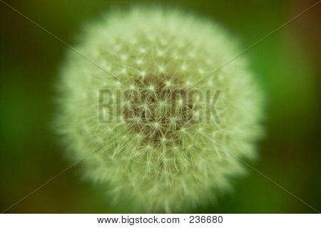 Dandelionball