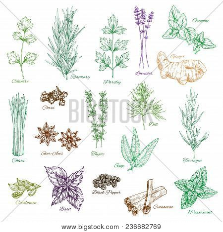 Herbs And Spices Vector Isolated Sketch Icons. Cilantro, Rosemary Or Parsley And Lavender. Seasoning