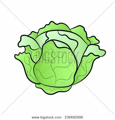 Vector Green Liner Cabbage. Cabbage Clipart. Vector Vegetable