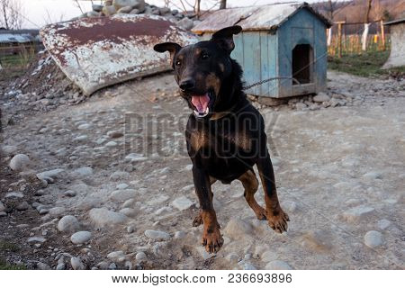 Black Doberman Barking On The Chain Showing Teeth And His Anger 2018