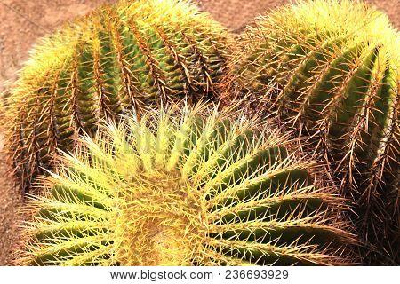 Three Large Golden Barrel Cacti, Natural Background