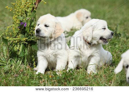 Amazing Group Of Golden Retriever Puppies