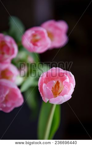 Pink Tulip On A Black Background. Low Key