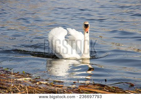 White Swan Floats On The River On The Waves, Spring
