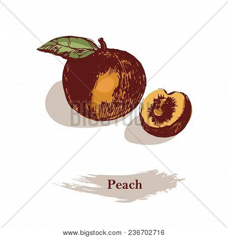Peach Color Illustration. Ink Hand Drawn Peach, Isolated On The White Background.detailed Vegetarian