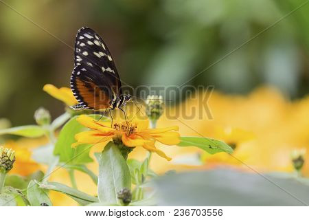 Close-up Of A Brown Butterfly Sitting On A Orange Flower