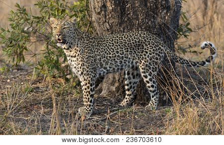One Leopard Walking And Hunting In Nature During Daytime