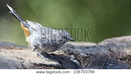 Chestnut Vented Tit-babbler Drinks Water From A Waterhole In The Kalahari Desert