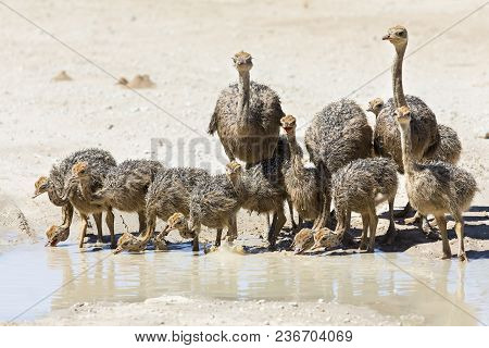 Family Of Ostriches Drinking Water From A Pool In The Hot Sun Of The Kalahari