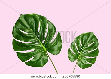 Tropical Palm Monstera Leaves Isolated On Pink Background, Top View. Summer Palm Fresh Foliage Minim
