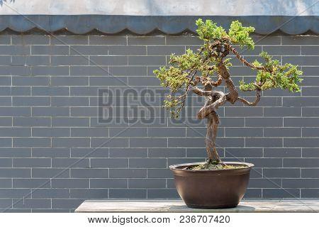 Bonsai Tree Against Brick Wall In Baihuatan Public Park, Chengdu, China
