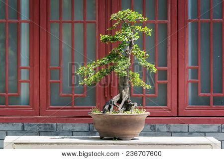 Bonsai Tree On A Table Against A Red Window In Baihuatan Public Park, Chengdu, China