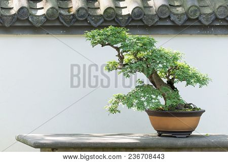 Bonsai Tree On A Table Against White Wall In Baihuatan Public Park, Chengdu, China