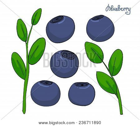 A Set Of Blueberry Elements. Sprigs Bilberries With Leaves And Blue Berries. Forest Plant Huckleberr