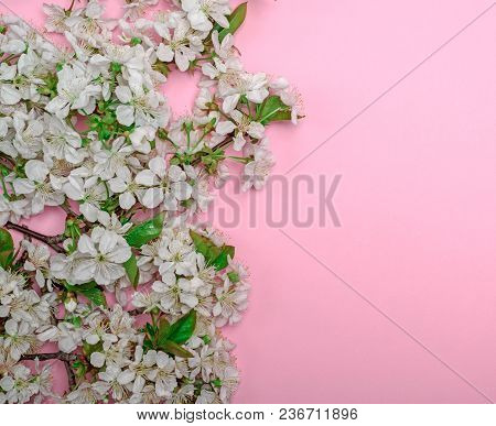 Pink Background With Blooming White Cherry Twigs, Empty Space On The Right