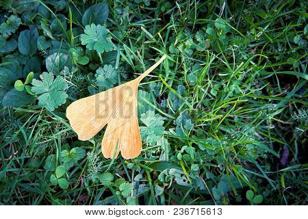Leaf Of A Ginkgo Tree Lies On The Forest Floor In Autumn