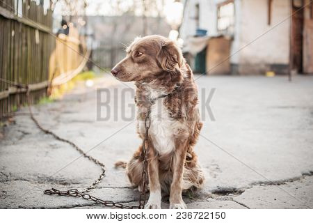 Portrait Of Cute Chained Brown Or Red Dog Sitting On Old Village Yard With Old House And Fence. The