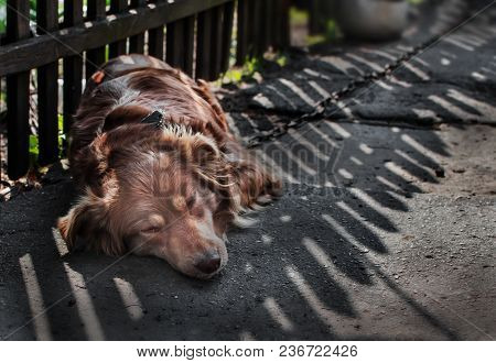 Close-up Portrait Of Young Cute Sad Or Unhappy Chained Brown Or Red Dog Lying Or Resting On Old Vill