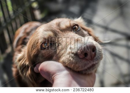 Close-up Portrait Of Cute Muzzle Dog Lying In Person's Or Owner Palm On Old Village Yard With Wooden